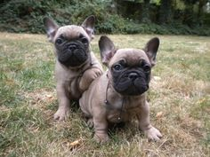 Blue fawn French bulldogs