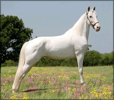 American Albino / American Creme & White horse. Features: Average height 15 hands. Pink skin & pure white hair. Physique: Will vary depending on the breed. Stunning white coat.  Traditional Colors: Always chestnut with a double champagne dilution gene. Temperament: Intelligent. Excellent disposition. Willing. Use: Can be found in almost any discipline.