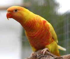 Aqua Lutino breed from a Aqua coloured rainbow with a split Lutino rainbow