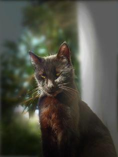 Gatto Balo