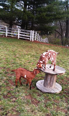 Big Water Farm Isis ( on left) and Big Water Farm Aphrodite are Mini Nubian goats.  We just love our little goats!