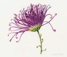 Wendy Hollender: Colored Pencil Botanicals. Chrysanthemum (Kiku Chrysanthemum) (colored pencil, 9×12)