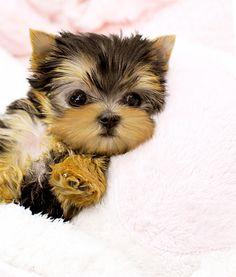 Teacup Yorkie - This is what Priss looked like when she was a baby
