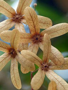 Queen's Wreath (petrea volubilis)