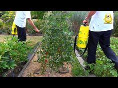Paradicsom, három. tanácsok, tippek, betegségek. - YouTube Growing Tomatoes, Growing Tree, Tricks, Outdoor Power Equipment, Youtube, Seeds, Gardening, Vegetable Gardening, Gardens