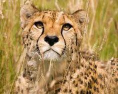 Resultado de imagen para guepardos fotos