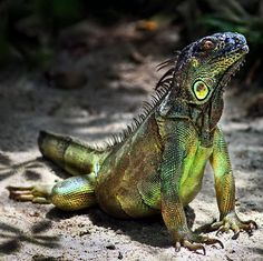 an iguana!  i want a ginormous one, most definitely! <3 I shall call him Yoshi.