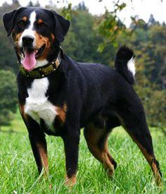 Appenzeller Sennenhund breed info,Pictures,Characteristics,Hypoallergenic:No