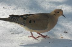 Mourning Dove - Photo by Alan Wiltsie