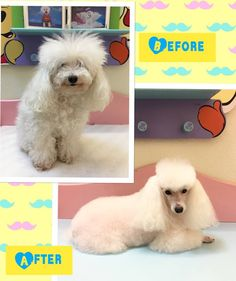 Kipper at Grande Style Pet Dog Grooming in Tampa Grooming Salon, Pet Grooming, Poodle Hairstyles, Pet Dogs, Pets, Tampa Bay Area, Small Dogs, Teddy Bear, Animals
