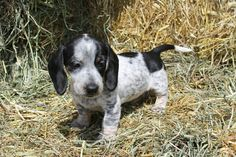 Piebald Dachshund puppy My new baby! More
