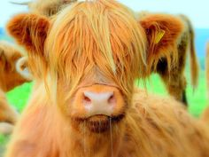 Hairy marie the highland cow (my favorite bovine)