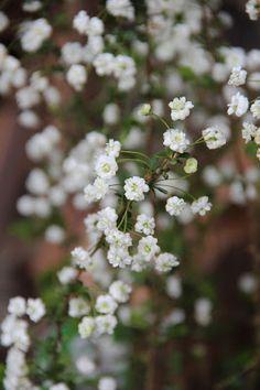 Spirea prunifolia 'Flore Pleno'