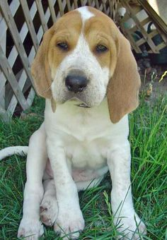 English Red Tick Coon Hound