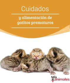 Cuidados y alimentación de gatitos prematuros - Mis animales  No es una labor imposible, te dejamos algunos consejos sobre los cuidados que requieren los gatitos prematuros.