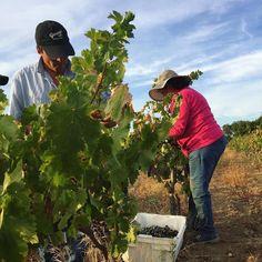 Harvest 2o17 is underway #gwcobagualvineyard  #gwcoharvest2017