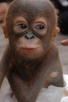 Awww... this baby orang-utan is way too cute not to share! ❤