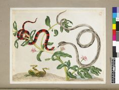 Two examples of snakes, one red and black, entwined around a pink-flowered plant, from an album entitled 'Merian's Drawings of Surinam Insects &c'; with below a frog on its back and a clutch of snake eggs Watercolour and bodycolour, heightened with white, on vellum. Attributed to: Dorothea Graff. Assigned to: Maria Sibylla Merian. School/styleGerman. Date1710 (circa).