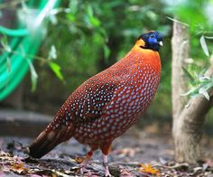 """The Tragopan birds are commonly called """"horny pheasants"""" because of two brightly colored, fleshy horns on their heads that they can erect during courtship displays. The scientific name refers to this, being a composite of tragus (billy goat) and the ribald half-goat deity Pan. Their habit of nesting in trees is unique among phasianids. There are five species are endangered. Western Tragopan,Satyr Tragopan, Temminck's Tragopan Blyth's Tragopan Cabot's Tragopan"""