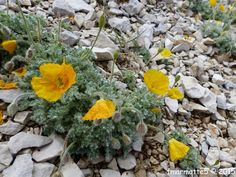 Le sommet du Mont Ventoux est un biotope classé « éboulis fins et mouvants ». Son exposition, altitude (proche de 2000 mètres, le sommet est à 1911 ) et conditions climatiques réservent des surprises au botaniste « en herbe » comme toujours, malgré sa...