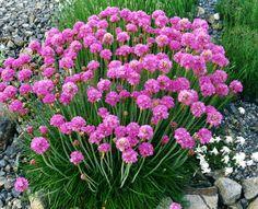 Engels gras (Armeria maritima 'Splendens') bloeitijd – mei-juli met hard en zacht roze bloemen groeit tot 15cm. Zonnige standplaats in een vochtige kalkrijke bodem. In de winter een drogere bodem.