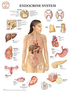 Endocrine system liver