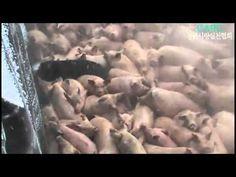 Südkorea begräbt 3 Millionen Schweine lebendig