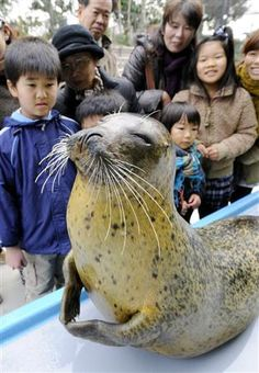 Mu the Spotted Seal at Suma Aqualife Park KOBE, Japan. Yoga master? Very Zen :)