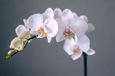 How to Grow Orchids http://www.thegardenglove.com/how-to-grow-orchids/