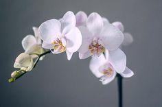 orchid-34.jpg 700×465 pixeli