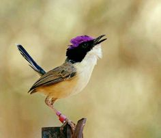 Purple Crowned Fairy Wren, The World of Birds. Photographer: Ayelet LeSly, Northern Australia