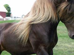 Rocky Mountain Horse Stallion