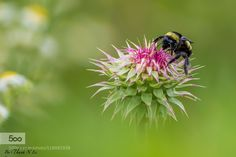 busy bee by AnthonyLe2. Please Like http://fb.me/go4photos and Follow @go4fotos Thank You. :-)