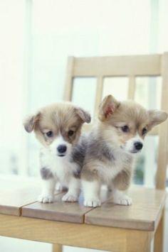 Cute Corgi Puppies by milagros