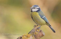 Blue Tit by info1325 #animals #animal #pet #pets #animales #animallovers #photooftheday #amazing #picoftheday