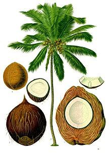 ** A beautiful antique illustration from the depths of an old botanical book, featuring a palm tree chart highlighting the essential parts of its coconut Illustration Botanique, Antique Illustration, Plant Illustration, Botanical Illustration, Indian Illustration, Vintage Botanical Prints, Botanical Drawings, Botanical Art, Vintage Prints