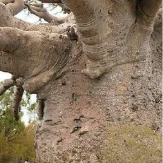 "Tree of Life! Baobab: Also known as the ""tree of life"". Baobab trees are found in Africa and India, they can live for several thousand years! Baobab Tree, Unique Trees, Old Trees, Big Tree, Giant Tree, Tree Tree, Tree Forest, Jolie Photo, Parcs"