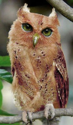 Madagascar Red Owl