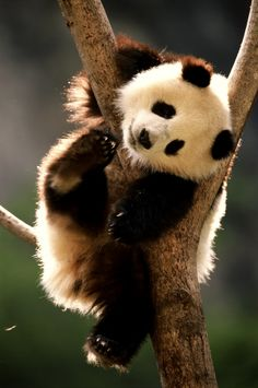 Pandas are one of your favourite species.. unsurprisingly, just look!