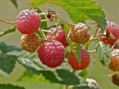 Raspberries by cedarlili.deviantart.com on @deviantART