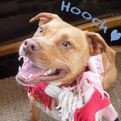 I'm Hooch and I love to Smooch! is an adoptable Pit Bull Terrier Dog in Cedar Brook, NJ.  Hi, my name is Hooch. I am a 3 year old male American Pit-bull Terrier.I'm 50pounds, neutered and have all m...