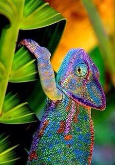 It's a Colorful Life ~ — Chameleon Color Les Reptiles, Reptiles And Amphibians, Mammals, Beautiful Creatures, Animals Beautiful, Animals And Pets, Cute Animals, Chameleon Color, Exotic Fish