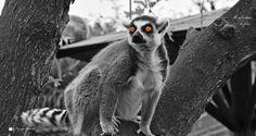 """Salvatore Lo Faro posted a photo:  I lemuri (Lemuriformes Gray, 1821) sono un infraordine di primati del sottordine degli Strepsirrhini, endemico del Madagascar.  Il termine """"lemure"""" deriva dalla parola latina lemures, che sta ad indicare gli spiriti della notte della mitologia romana: chiaro il riferimento al fatto che la maggior parte dei lemuri possiede grandi occhi dall'aspetto spiritato, ben adatti alla vita notturna che la maggior parte delle specie conduce, ed emette versi simili a…"""