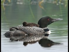 Loon Call YouTube | Common Loon Mother and Baby Chick - YouTube