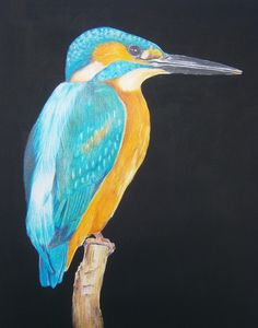 Kingfisher  - Original Drawing by Eula Wilkin  Water soluble Caran D'Ache Supracolor Soft Aquarelle Pencils & Gouache  on 180gm Cartridge Paper.    Unframed Drawn area 20cm by 29cm