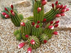 Echinopsis candicans (Argentine Giant) is a cactus with a shrubby growth habit. Cacti And Succulents, Planting Succulents, Planting Flowers, Agaves, Cactus Pictures, Elephant Ear Plant, Cactus Plante, Cactus Care, Succulent Landscaping