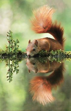 Big Drink. little squirrel reflection