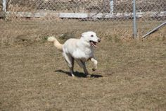 COURTESY LISTINGKELLY is a lovely 2 year old white spayed female who is micro chipped, up to date on all shots and heartworm negative. While being good with people Kelly is very active and is quite an accomplished escape artist. She is best suited...