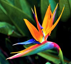 bird of paradise By longbachnguyen Flickr LOVE THE MULTITUDE OF COLOUR!!! FANTABULOUS!!!