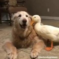 #pet #animal #bird #dog #duck #cuteanimal #dogvideo #animalvideo #friendship #loved Cute Animal Videos, Cute Animal Pictures, Adorable Pictures, Cute Puppies, Cute Dogs, Cute Babies, Cute Little Animals, Cute Funny Animals, Funny Animal Memes